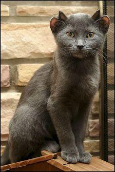 #Yoda - Cat With Four Ears!