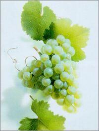 Deutsche Weine | Riesling |