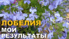 Выращивание лобелии. 2. Цветение // Growing lobelia. 2. Blossom