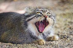 SOUND: https://www.ruspeach.com/en/news/10507/     Манул - это хищное животное размером с домашнюю кошку. Вес этого животного достигает 5 кг, а длина вместе с хвостом 65 см. От обычной кошки он отличается более плотным, массивным телом на коротких толстых лапах и очень густой шерстью. Манул обитает в Азербайджане, Монголии, Киргизии, в Алтайском крае.      Manul is a predatory animal with the size of a domestic cat. The weight of this animal reaches 5 kg, and length together