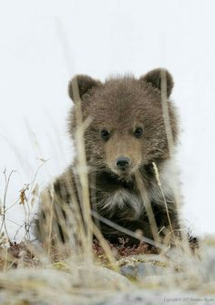 A Cute Kodiak Bear Cub. You can see the white natal ring, they lose this after a few years.