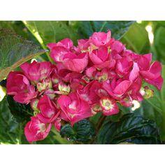 Hydrangea Raspberry Crush