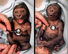A newborn baby gorilla at Melbourne Zoo in Australia gets a checkup at the hospital and shows suprise at the coldness of the stethoscope.