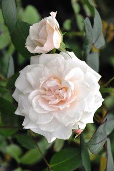 'Dove' | Shrub. English Rose Collection. David C. H. Austin, 1984