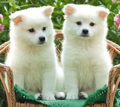 ,twins in a basket:-) Puppy Care, Pet Puppy, Dog Cat, Cute Puppies, Cute Dogs, Dogs And Puppies, Doggies, Love Pet, I Love Dogs