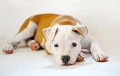 Pitbull Names You'll Love [Tough, Classic, & More] - My Dog's Name Terrier Dogs, Pitbull Terrier, Bull Terriers, Tough Dog Names, Pitbull Names, Puppy Names, Meds For Dogs, Dog Anxiety, Black Lab Puppies