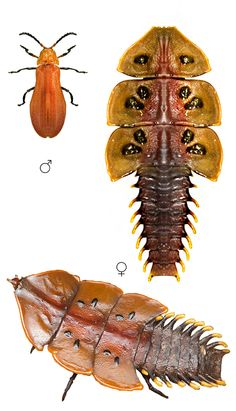 Platerodrilus ruficollis, male and female