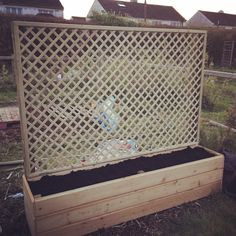 Lattice planter box. Planted with climbing veg