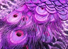 purple peacock feathers