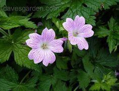 Hardy Geranium 'Hollywood' (Geranium x oxonianum)