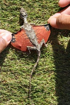 """Indonesian-dragon aka Draco volans"" >>> Is this real? I'm in love!"