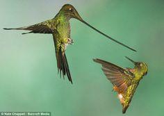 A sword-billed hummingbird (left) and a chestnut-breasted coronet battle over a hummingbird feeder near Papallacta, Ecuador.  by Photographer Nate Chappell