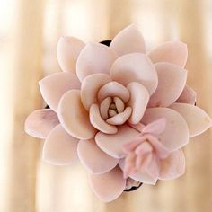 Echeveria laui, 10 seeds, rare succulent, pink succulent, succulent Walawala Succulent Studio by Wal Propagate Succulents From Leaves, Cacti And Succulents, Planting Succulents, Garden Plants, House Plants, Planting Flowers, Propagating Cactus, Succulent Containers, Container Flowers