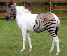 ゼブロイド(zebroid)