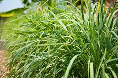 Growing Citronella: Varieties, Planting Guide, Care, Problems and Harvest Citronella Essential Oil, Lemongrass Essential Oil, Grass Seed, Wheat Grass, Citronella Plant Care, Small Flowering Plants, Cat Friendly Plants, Seed Raising, Snake Plant Care