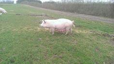 Risbjerg Landbrug, øko-grise, Friland, krølle på halen
