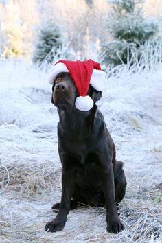 Vaino the Labrador Winter Time, French Bulldog, Labrador, About Me Blog, Dogs, Christmas, Animals, Xmas, Animales