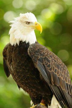 Indonesian Hawk Eagle