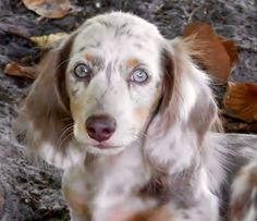 """Learn additional information on """"dachshund pups"""". Browse through our site. Dachshund Puppies For Sale, Dachshund Love, Dogs And Puppies, Weenie Dogs, Pet Dogs, Doggies, Dapple Dachshund, Daschund, Cute Dogs Breeds"""