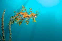 Leafy Sea Dragon - Rapid Bay | Flickr - Photo Sharing!