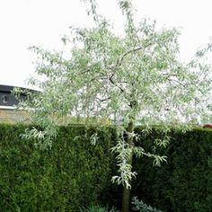 arbre pour petit jardin les vari t s petit d veloppement plantes jardin pinterest. Black Bedroom Furniture Sets. Home Design Ideas