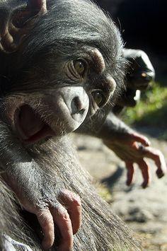 Chimp Baby having a small tantrum | Flickr - Fotosharing!