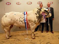 """Belgian Blue - a breed of cattle from Belgium that are heavily muscled or """"double muscled"""" due to a gene mutation, no steroids invovled! Close to 100 years of linebreeding has made the mutation a fixed property in the breed."""