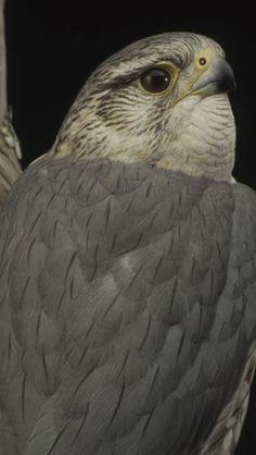Merlin Bird, Betta Aquarium, Soapstone Carving, Clay Birds, Walking Canes, Bird Sculpture, Carving Tools, Bone Carving, Birds Of Prey