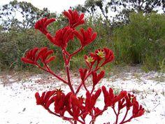 Esperance Wildflowers: Red Kangaroo Paw - Anigozanthos rufus