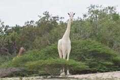 Vídeo raro mostra girafas brancas num parque natural