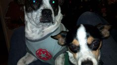 Lost 2 dogs black and white chihuahua and terrier/boxer mix (beaumont) shiperio at amateur We live in tournament hills on shiperio lane our dogs have vanished and we need help! picture is attached. 9095570297 bj6ng-4434787540@comm.craigslist.org