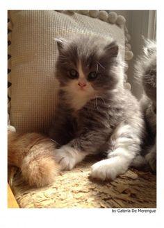 Fotos de Británico de pelo largo (6570) - Gatos - mundoAnimalia.com