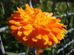 https://flic.kr/p/vSu964 | Summer flowers 2