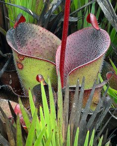 """https://flic.kr/p/ipg4vQ   Heliamphora minor var. pilosa, Marsh Pitcher Plant in habitat, tepui """"G"""", Canaima National Park, Bolivar, Venezuela   This is one of the rarest of the South American pitcher plants.  Currently classified as a variant of H. minor, on casual observation appears to comprise less than 5% of populations of H minor in habitat."""