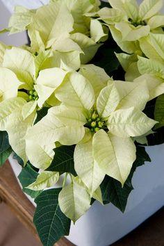 Le poinsettia, véritable star de Noël ! http://www.pariscotejardin.fr/2014/12/le-poinsettia-veritable-star-de-noel/
