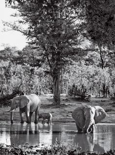 Moremi and Chobe reserves, elephants at watering hole