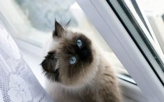 Himalayan Cat: Pictures, Personality, and How to Care for Your Himalayan Cat