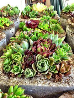 A mesa de centro da sala de estar ou a mesa da sala de jantar, podem ficar mais apresentáveis com algumas plantinhas suculentas. O uso d...