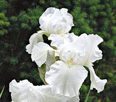 Iris, Iris Bulbs & More   White Flower Farm