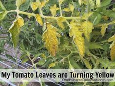 Ask Mavis - Help! My Tomato Leaves are Turning Yellow - One Hundred Dollars a Month Cucumber Leaves Turning Yellow, Cherry Tomato Plant, Tomato Plants, Tomato Growers, Zucchini Plants, Squash Plant, Tomato Seedlings, Cucumber Plant, Tomato Farming