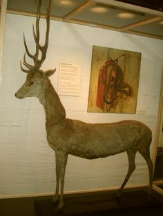 This could be the oldest taxidermised deer in the world on display at the Danish Museum of Hunting and Forestry in Hørsholm.  The stag is apparently over 300 years old and was owned/killed? by King Frederik IV (1671-1730).  Crazier still, researchers have x-rayed the ancient beast to determine exactly how it was put together.  The answer? A ridiculous number of pins.