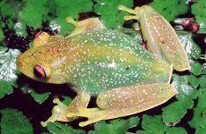 RÃ-FLAUTINHA  Aplastodiscus albosignatus Instituto Rã-bugio para Conservação da Biodiversidade