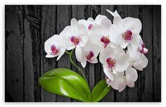 White Orchid Flower HD desktop wallpaper : Widescreen : High Definition : Fullscreen : Mobile
