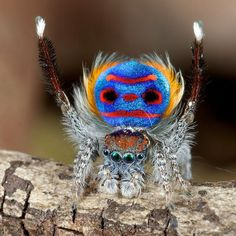 The brightly decorated peacock spider, Maratus speciosus, uses colour to show off to the female of the species. The tiny spiders are only about four to five millimeters in length. Cool Insects, Bugs And Insects, Beautiful Creatures, Animals Beautiful, Tiny Spiders, Real Spiders, Animals And Pets, Cute Animals, Nature Animals