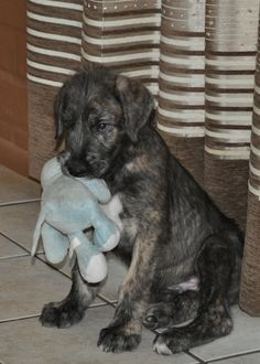 An irish wolfhound drinking Guinness in a pub. *** Read more on dogs tips at the image link. Cute Puppies, Cute Dogs, Dogs And Puppies, Doggies, Irish Wolfhounds, Irish Wolfhound Puppies, Great Dane Breeders, Irish Terrier, Cutest Animals