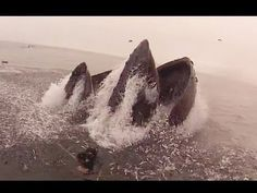 Whales Almost Eat Group of Divers (Original Version)