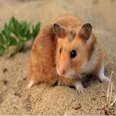 How to Care for a Hamster. There are several kinds of hamsters. Most live for approximately two to three years. Hamsters are nocturnal creatures, which means Hamster Live, Hamster Habitat, Syrian Hamster, Hamster Treats, Nocturnal Animals, Animals And Pets, Cute Animals, Chinese Hamster, Fotografia