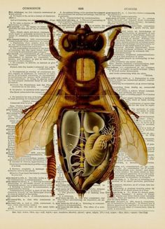 Vintage dictionary page of a bee.