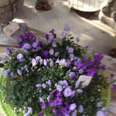 Purple flowers !~House of History, LLC.