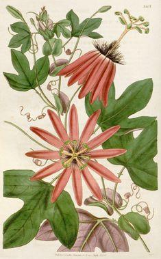 Crimson Passion Flower Botanical Illustration circa 1836
